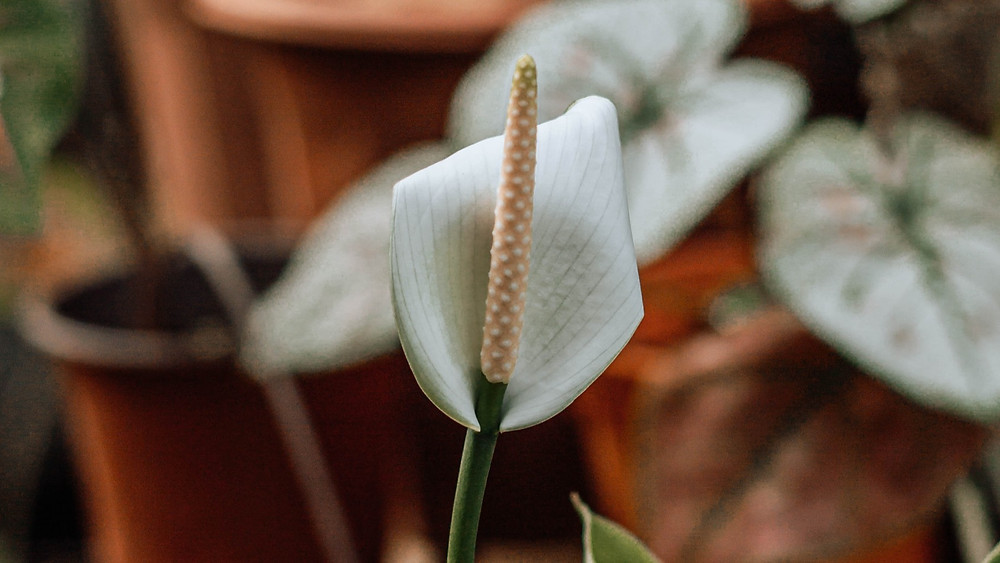 20 Best Indoor Plants - Spathiphyllum (Peace Lily)
