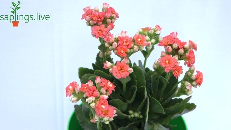 20 Best Succulent Plants - Flaming Katy (Kalanchoe Blossfeldiana Flowering Plant)