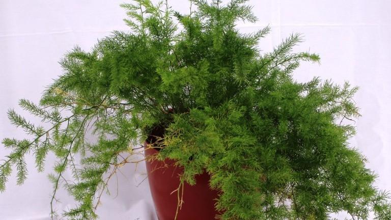 20 Best Indoor Plants - Asparagus Fern Plant