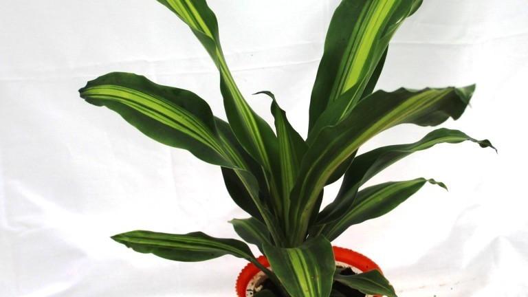 20 Beat House Plants -  Dracaena Fragrans Masangeana