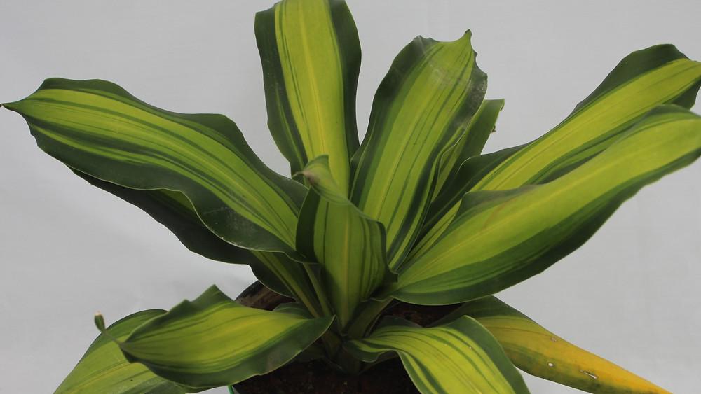 20 Best Succulent Plants - Dracaena Fragrans Masangeana (Corn Plant)