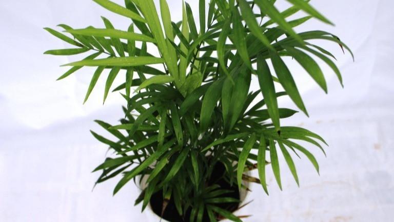20 Best Office Plant - Chamaedorea Elegance (Parlor Palm)