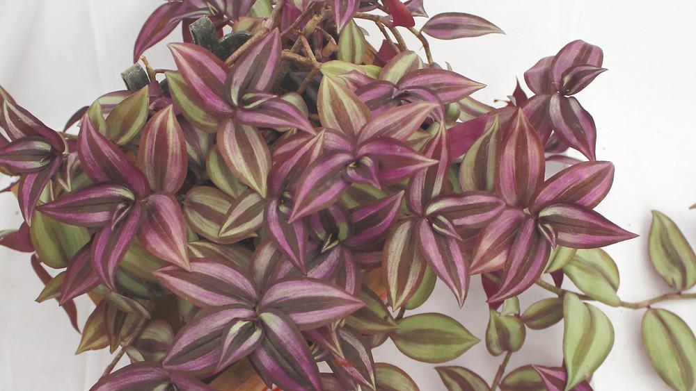 20 Best Hanging Plants - Wandering Jew Plant