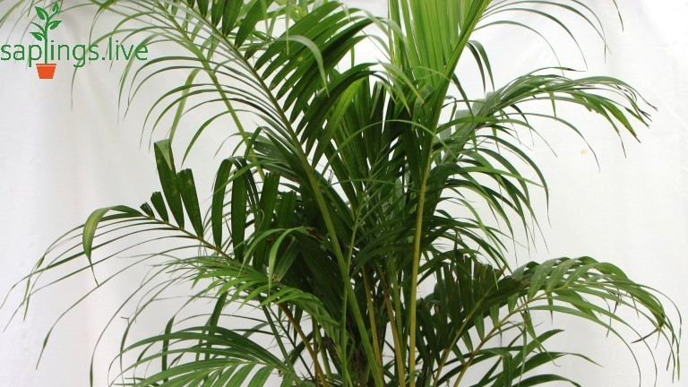 20 Best Air Purifying Plants - Bamboo Palm ( Areca Palm)