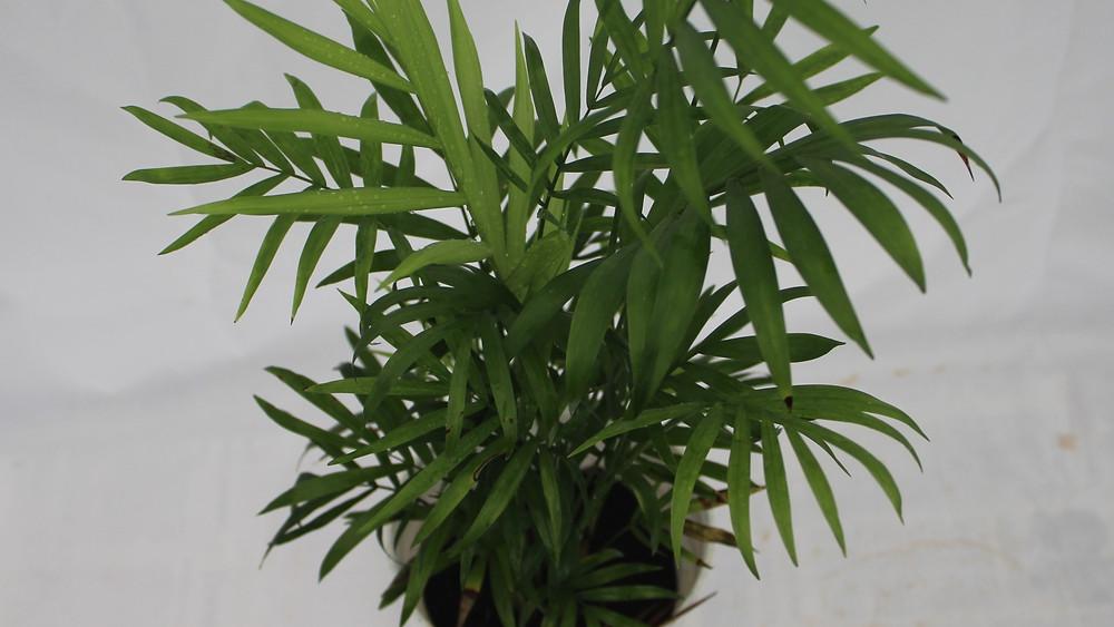 20 Best Indoor Plants - Parlor Palm