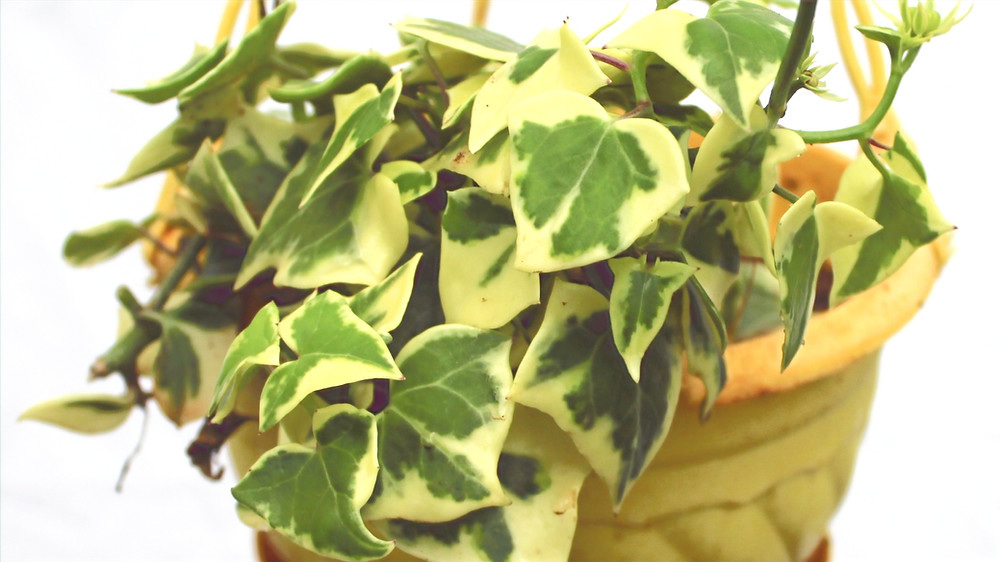20 Best Air Purifying Plants - English Ivy Plant