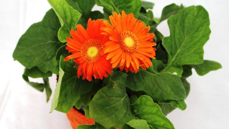 20 Best Air Purifying Plants - Gerbera Daisy