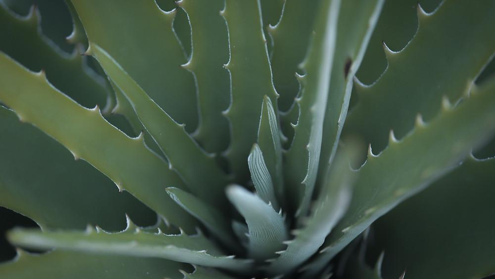 20 Best House Plants - Aloe Vera