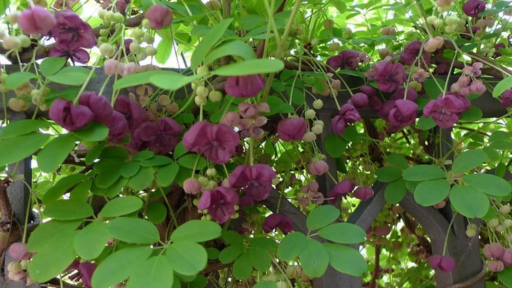 20 Best Creeper Plants - Chocolate Vine