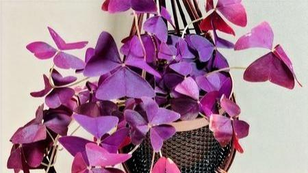 20 Best Hanging Plants - Oxalis Triangularis