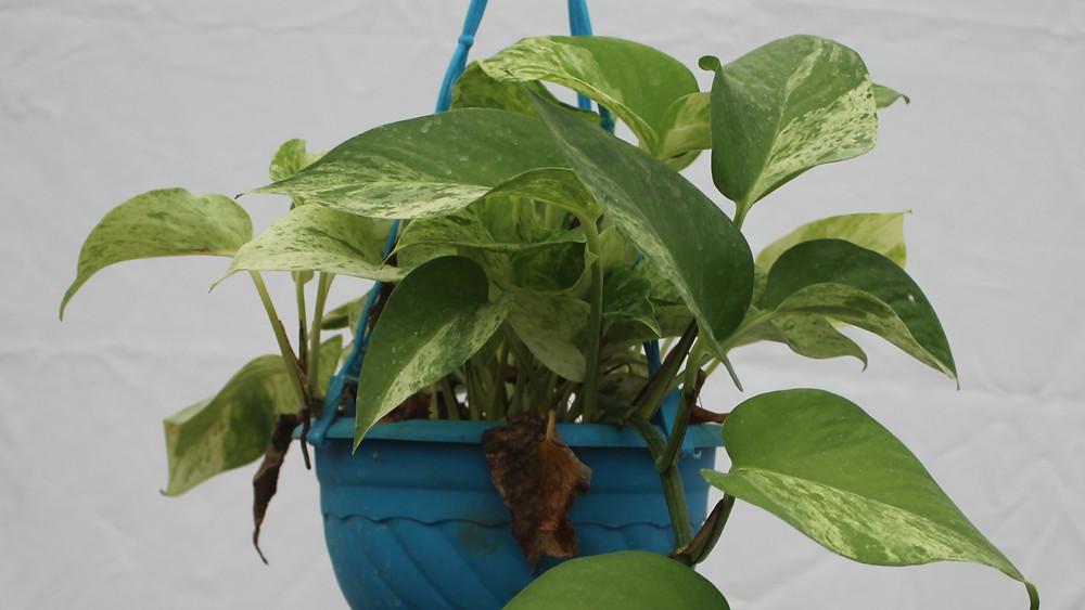 20 Best Hanging Plants - Money Plant Variegated