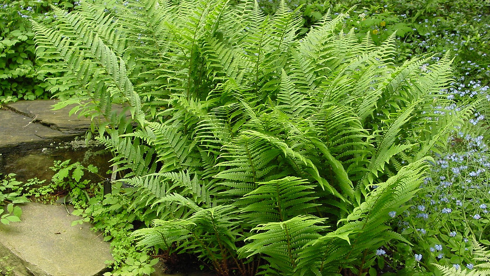 20 Best Lady Fern Plants - Lady Fern