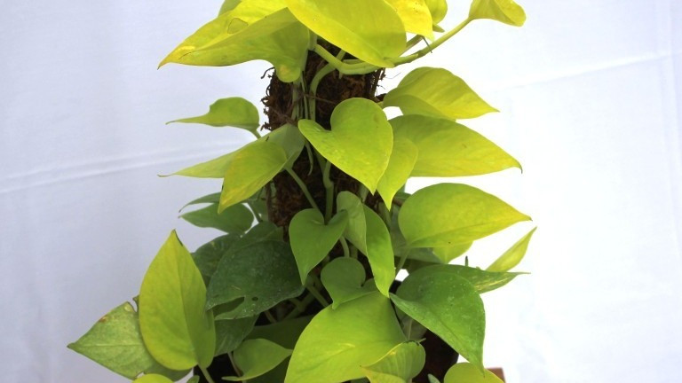 20 Best Air  Purifying Plants - Devil's Ivy (Money Plant)
