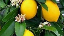 20 Best House Plants - Lemon Plant