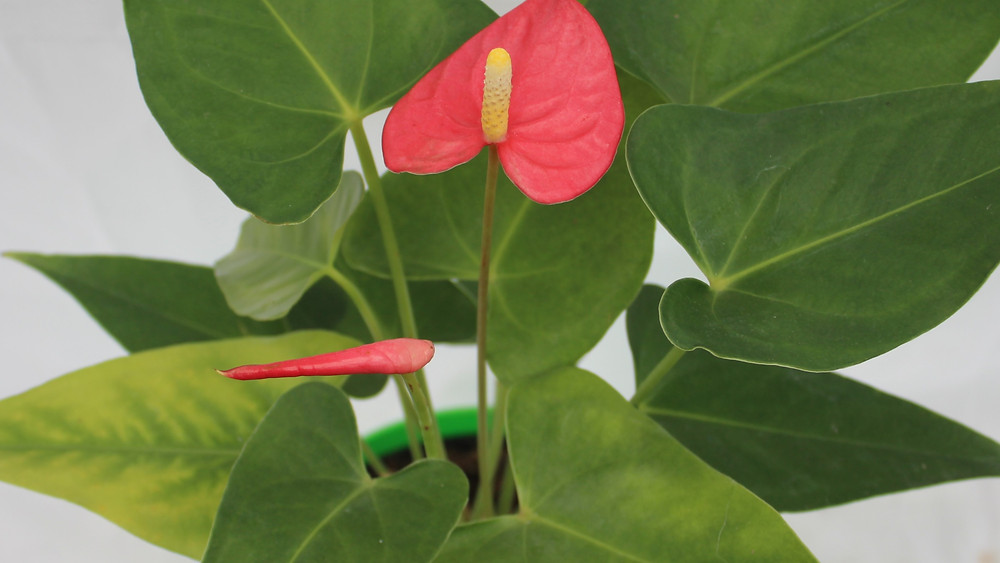 20 Best Air Purifying Plants - Anthurium Plant
