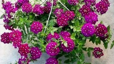 20 Best Hanging Plants - Verbena Hanging Plant