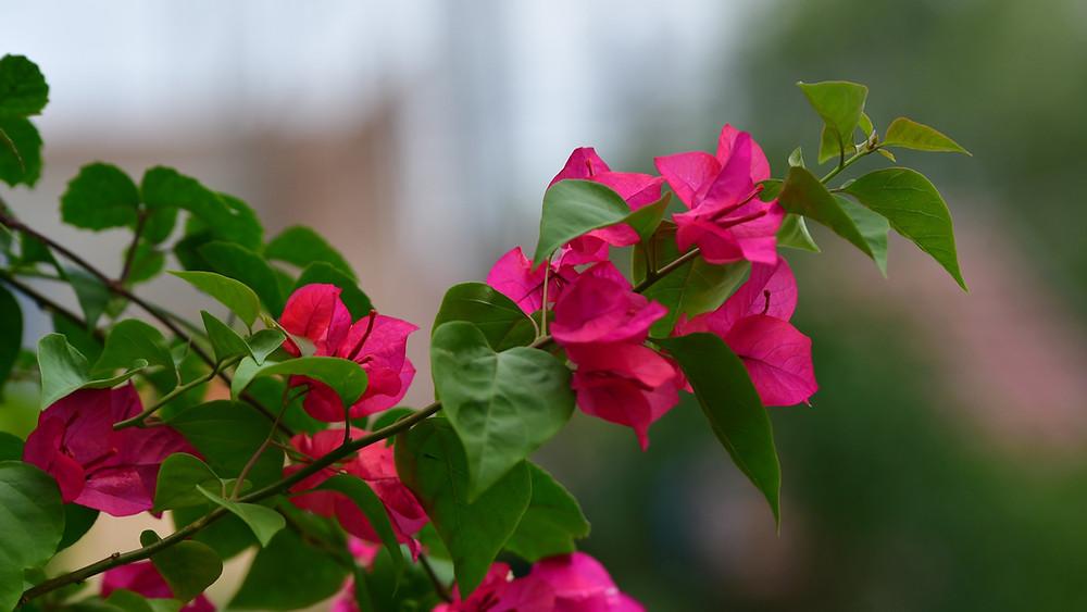 20 Best Creeper Plants - Bougainvillea