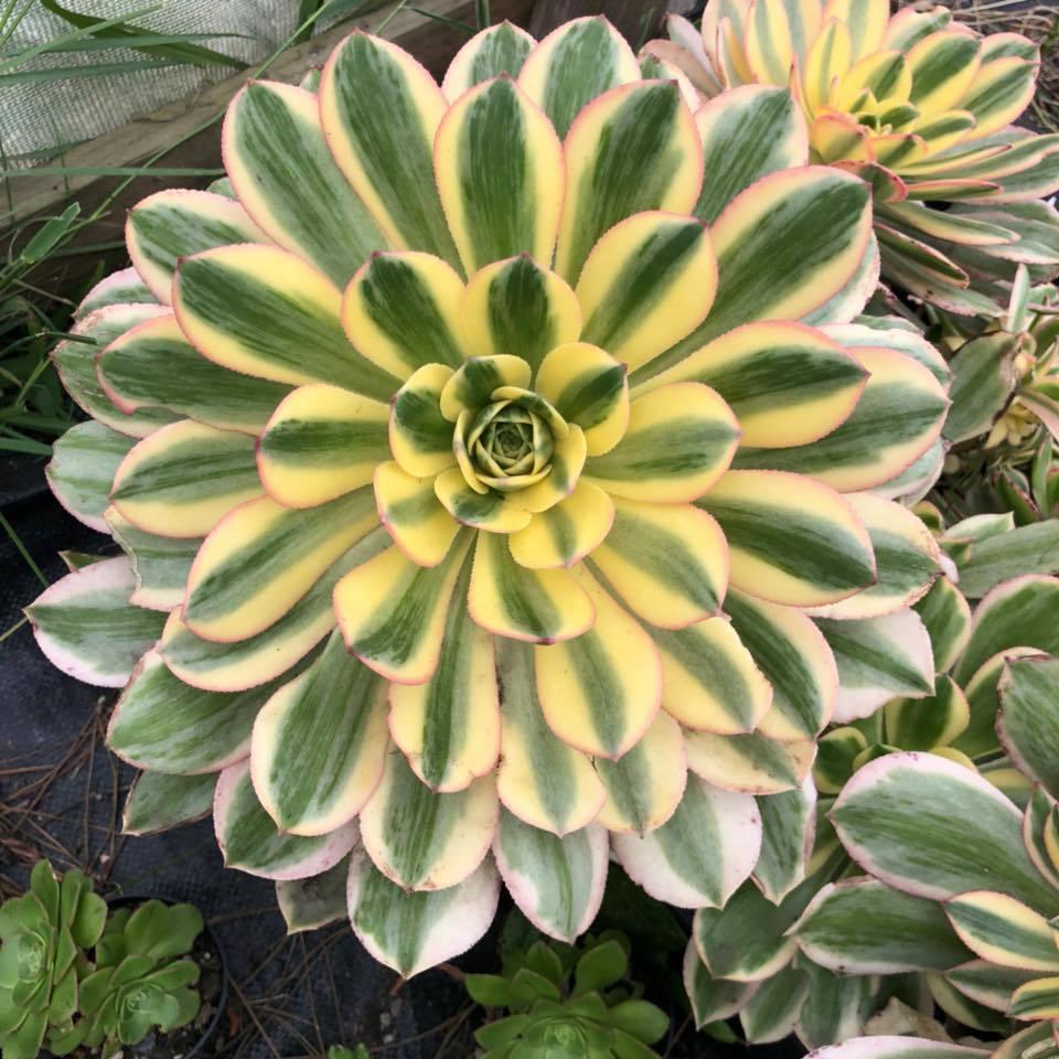 20 Best Succulent Plants - Sun Burst Plant