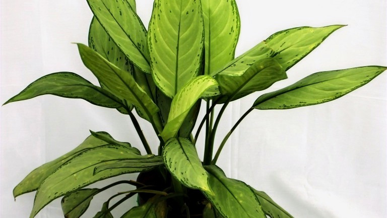 20 Best Air Purifying Plants - Chinese Evergreen (Aglaonema Green)