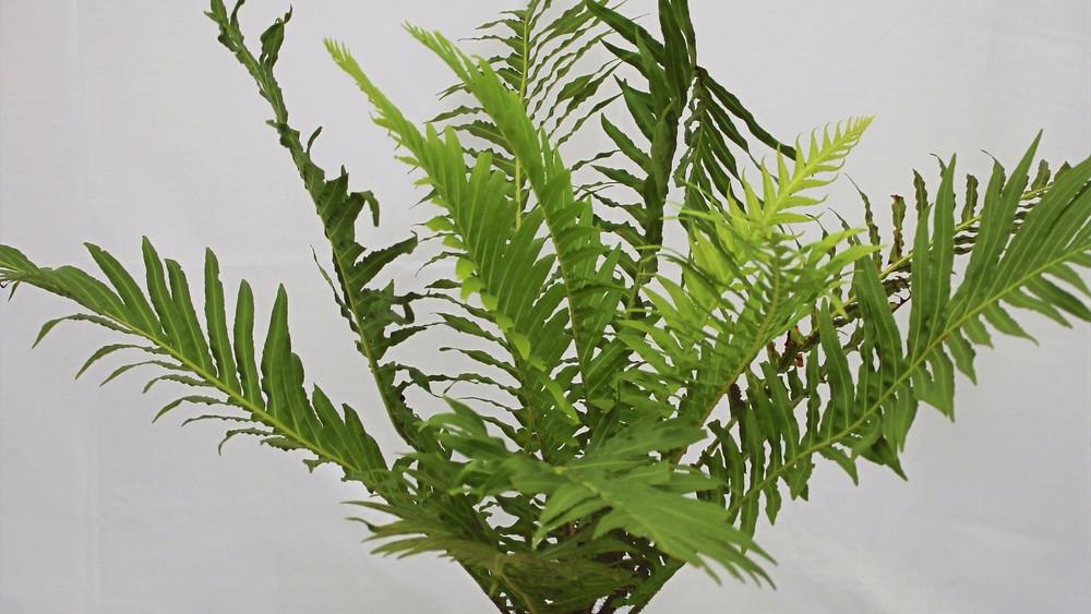 20 Best Indoor Plants - Boston Fern