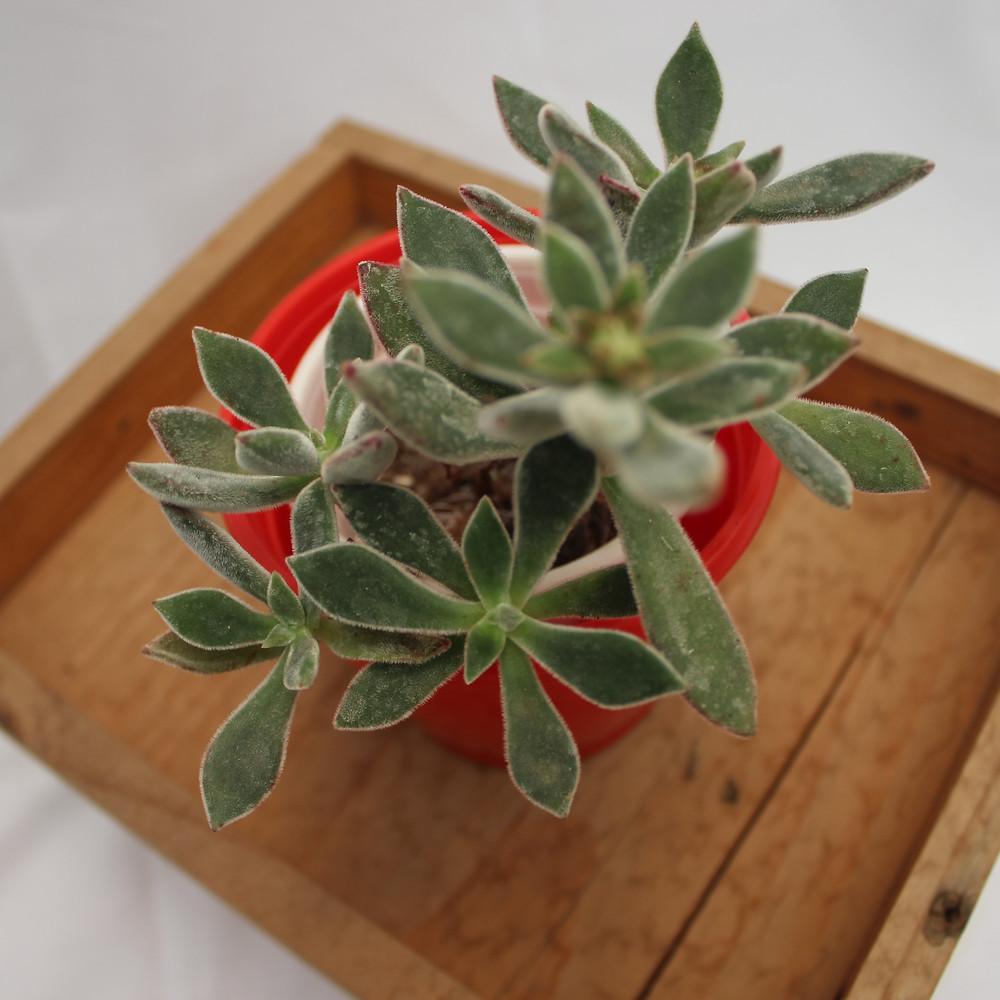20 Best Succulent Plants - Plush Plant (Echeveria Harmsii)
