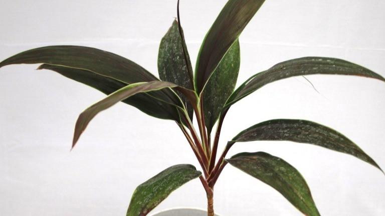 20 Best Indoor Plants - Cast Iron Plant (Dracaena Mahatma)