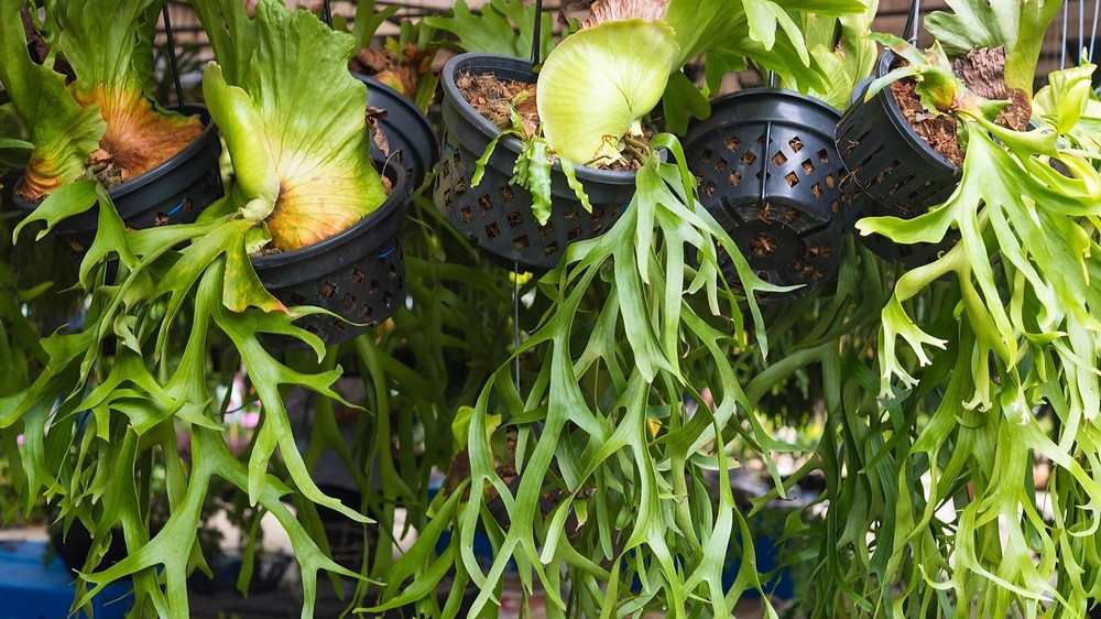 20 Best Hanging Plants - Staghorn Fern