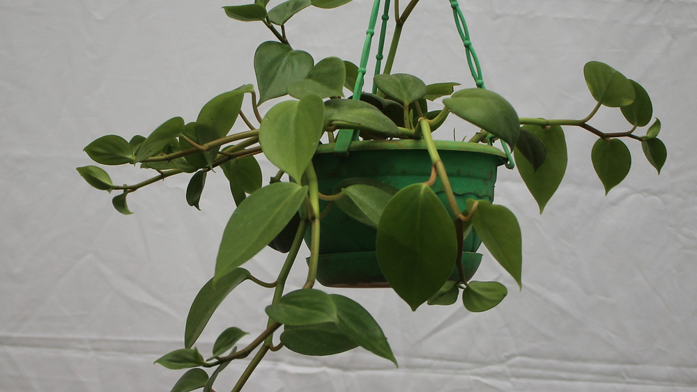 20 Best Indoor Plants - Hoya Plant (Dischidia Oiantha Plant)