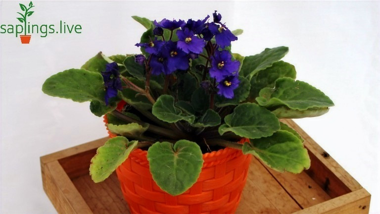 Best Office Plants - African Violet