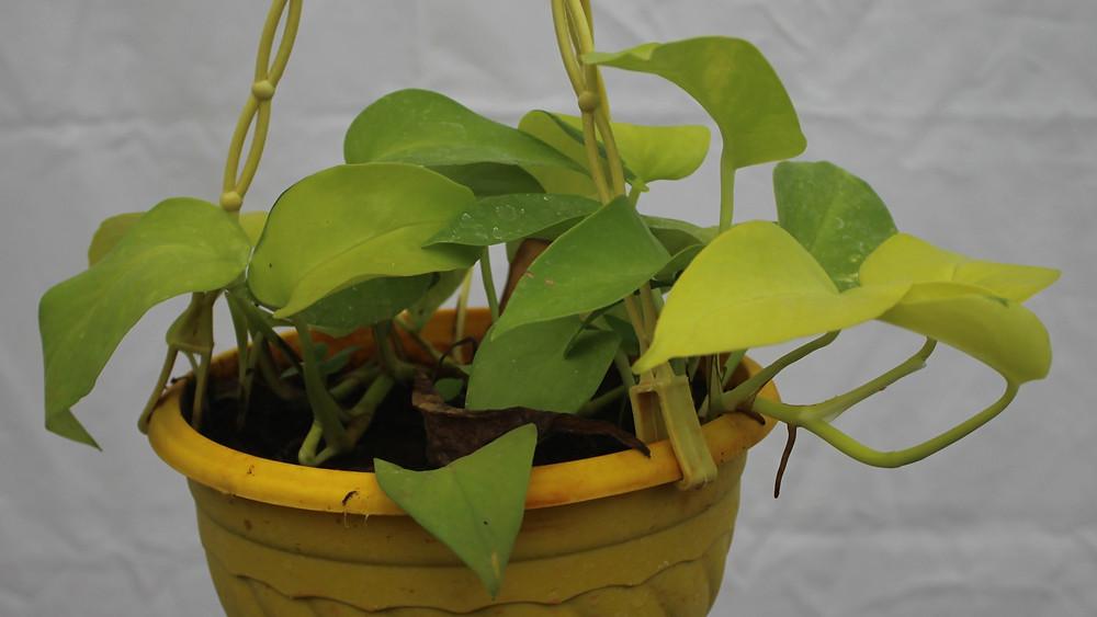 20 Best Hanging Plants - Golden Pothos