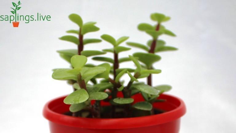 20 Best Succulent Plants - Jade Plant