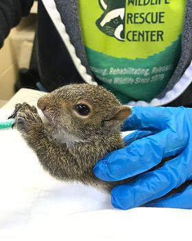 Syringe feeding baby squirrels.jpg