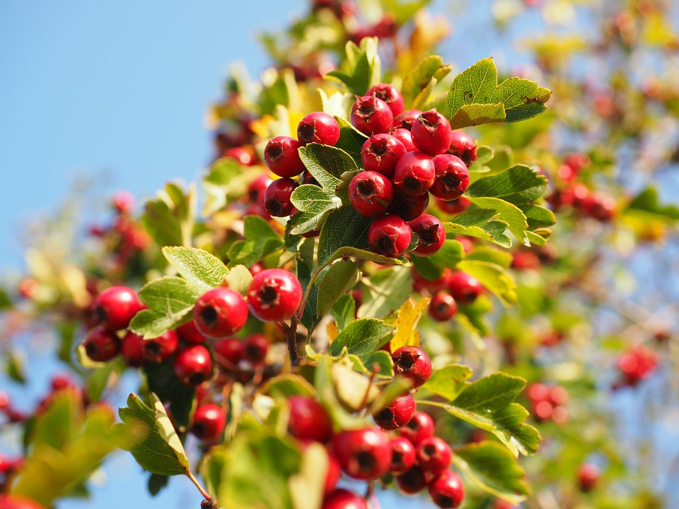 Hawthorn berries on a tree