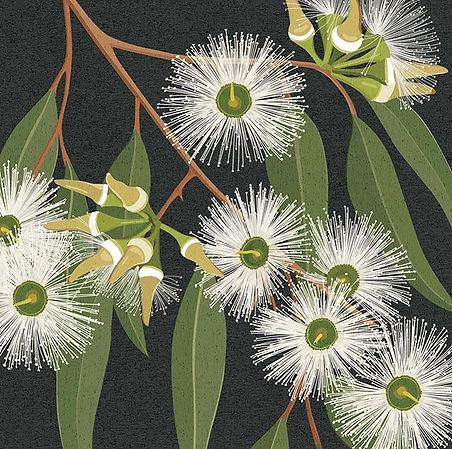 A flowering Jarrah illustration for my c