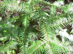 Torreya foliage