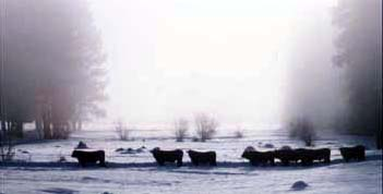 bulls_in_winter_3