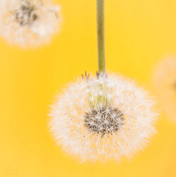 Dandelion and Yellow