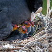 meadowbank ducklings & coot babies (10 o