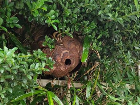 横浜市瀬谷区 スズメバチ 巣の駆除 垣根に巣