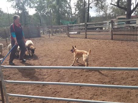 Herding with Samara and Zed