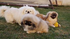 Pequinês filhotes