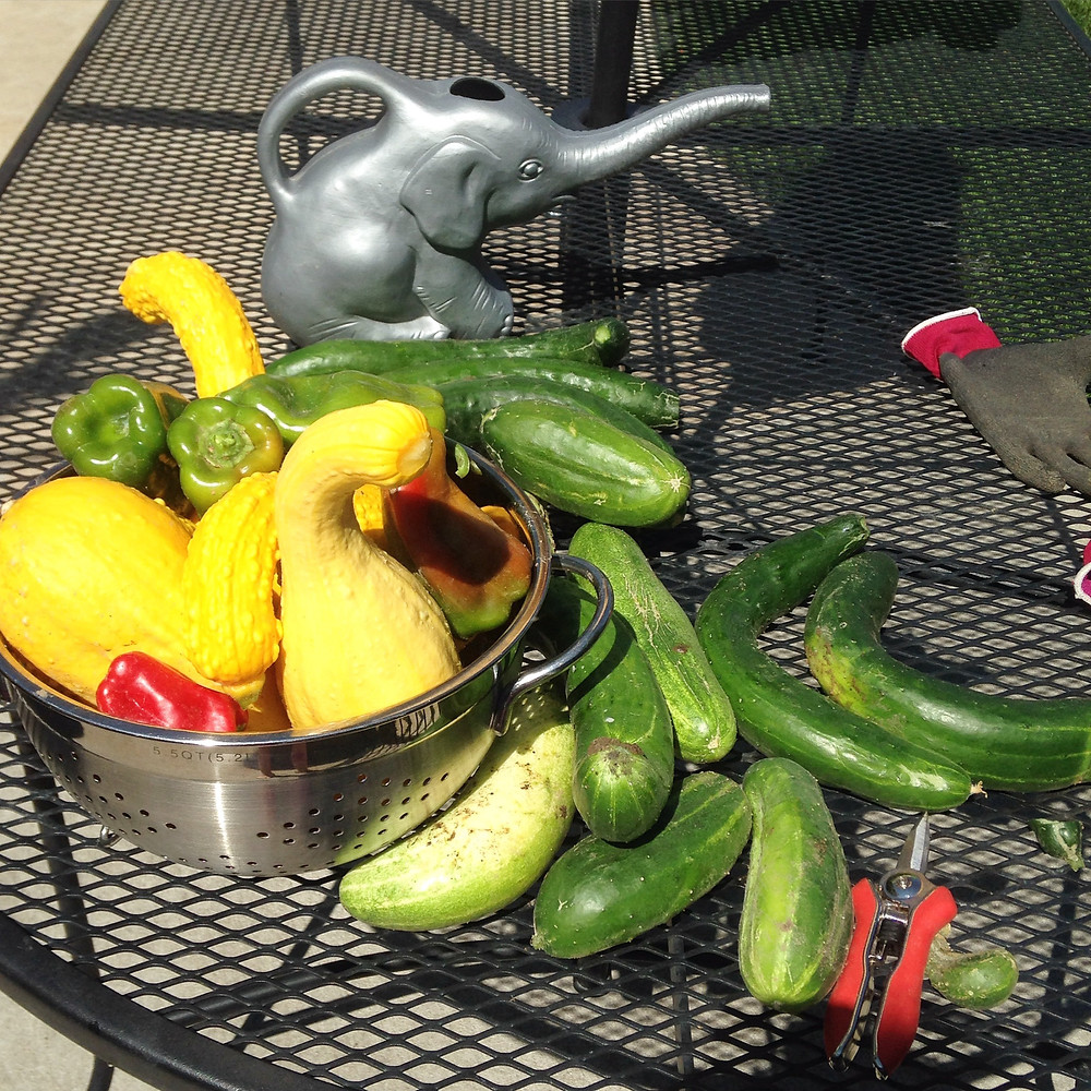 That's 5 squash, 10 huge cucumbers, 3 peppers, 3 tomatoes. (Plus fun watering can)