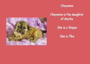 Cheyenne - Shihpoo F1