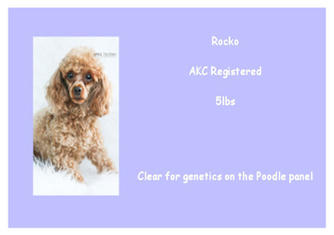 Rocko - Poodle - AKC