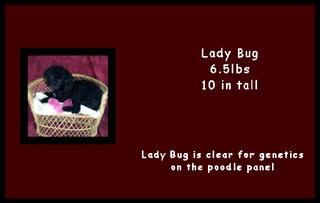 Lady Bug - Poodle