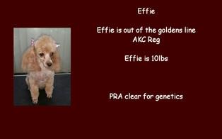 Effie - Poodle