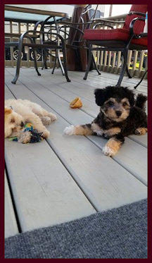 Gracie and Creed Maltipoos Owned by April