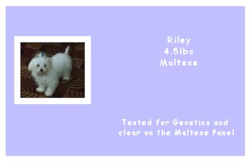 Riley - Maltese - AKC