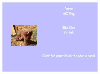 Pecos - Poodle - AKC