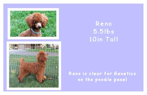 Reno - Poodle - AKC